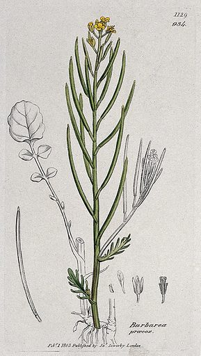 Land cress (Barbarea verna): flowering stem, leaf and floral segments. Coloured engraving after J Sowerby, 1803. Contributors: James Sowerby. Work ID: u6t4uxy3.