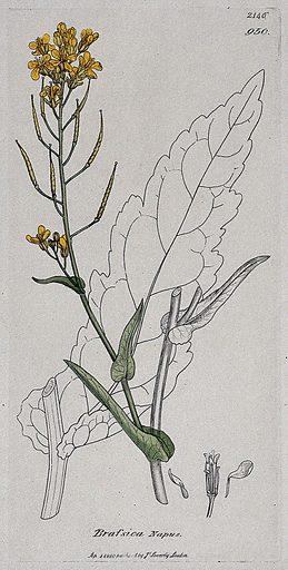 Rape (Brassica napus): flowering stem, leaf and floral segments. Coloured engraving after J Sowerby, 1810. Contributors: James Sowerby. Work ID: ph6uzyjc.