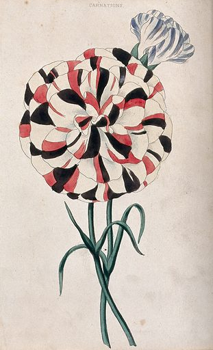 Carnations (Dianthus caryophyllus): two variegated flowers. Coloured aquatint, c 1839. Created 1839. Cultivated. Plants. Ornamental. Plants. Caryophyllaceae. Carnations. Pinks (Plants). Botany – England – History (- 19th century). Contributors: Charles McIntosh (1794–1864). Work ID: gfpjkddj.