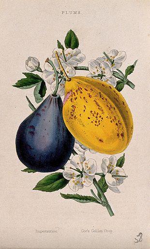 Two plums (Prunus cultivars): fruit and flowers. Coloured aquatint, c 1839. Work ID: ndwbk62y.
