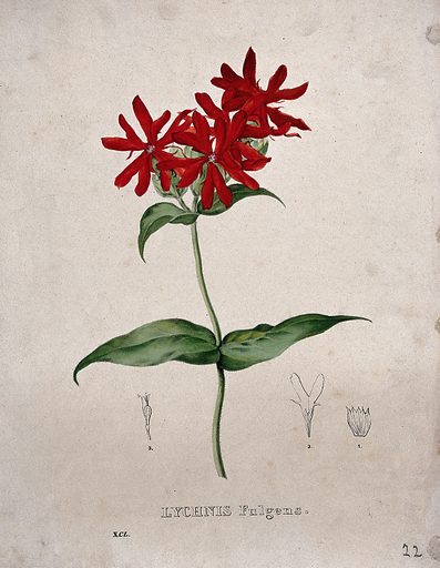 Rose campion (Lychnis fulgens): flowering stem and floral segments. Coloured lithograph by Burggraaff, c 1830, after G Severeyns. Created 1827–1836. Botany (- 19th century). Plants. Flowers. Caryophyllaceae. Contributors: G Severeyns (approximately 1850–approximately 1890); Burggraaff.; Pierre Corneille van Geel (1796–1836). Work ID: dps4bze4.