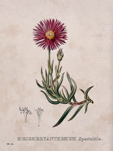 A plant (Mesembryanthemum spectabile): flowering stem and floral segments. Coloured lithograph by Burggraaff, c 1830, after G Severeyns. Created 1827–1836. Botany (- 19th century). Plants. Flowers. Aizoaceae. Succulent plants. Contributors: G Severeyns (approximately 1850–approximately 1890); Burggraaff.; Pierre Corneille van Geel (1796–1836). Work ID: mx9qynt7.