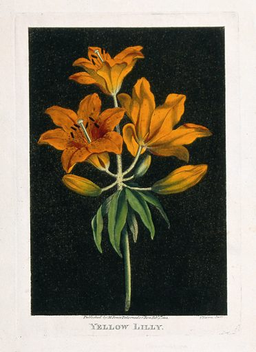 Orange lily (Lilium species): flowering stem. Coloured etching by J Harris, c 1805. Created 1 February 1805. Botany – England – History (- 19th century). Cultivated. Plants. Ornamental. Plants. Flowers. Lilies. Lilies – Varieties. Liliaceae. Contributors: John Harris (active 1791). Work ID: qq9eac9x.