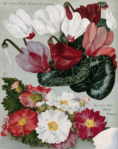 Two plant cultivars: florist's cyclamens and mixed primulas. Chromolithograph, c 1890. Created 1890. Botany – England – History (- 19th century). Flowers. Cultivated. Plants. Ornamental. Plants. Plant varieties. Horticulture. Primulaceae. Primroses. Cyclamen. Work ID: tsczzdye.