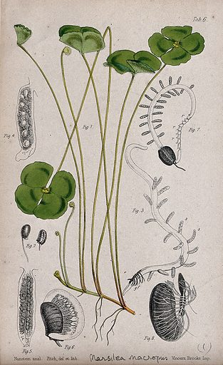 Water clover (Marsilea macropus): leafy stem with details of the sporocarp and embryonic plant. Coloured lithograph by W Fitch, c 1863, after himself, after Nanstein. Contributors: Walter Hood Fitch. Work ID: tds3qsw4.