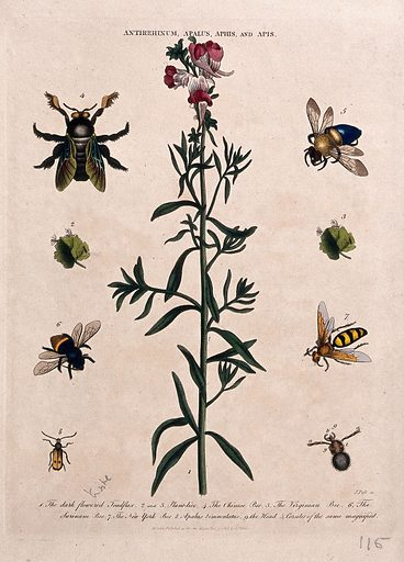 Snapdragon flower (Antirrhinum majus) with five species of bee. Coloured etching by J Pass, c 1808, after J Ihle. Created 4 June 1808. Botany – England – History (- 19th century). Cultivated. Plants. Scrophulariaceae. Snapdragons. Insects. Bees. Insect-plant relationships. Contributors: Johann-Eberhard Ihle (1727–1814); John Wilkes (-1810); John Pass (active 1797–1815). Work ID: x5gep2jb.