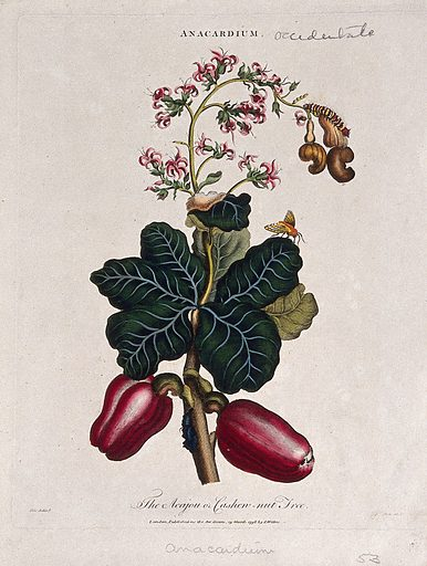 Cashew nut tree (Anacardium occidentale): fruiting and flowering branch. Coloured etching by J Pass, c 1796, after J Ihle. Contributors: Johann-Eberhard Ihle. Work ID: xx2j2pet.