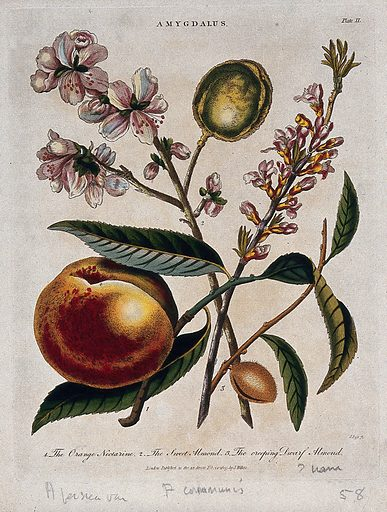 A fruiting nectarine (Prunus persica) and two almond plants (Prunus dulcis). Coloured etching by J Pass, c 1809, after J Ihle. Contributors: Johann-Eberhard Ihle. Work ID: rgvrw7vd.