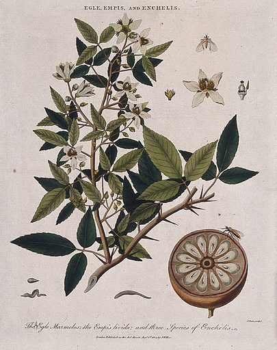A bael tree (Aegle marmelos) with sectioned fruit, a dancefly (Empis livida) and three worms (Enchelis species). Coloured etching by J Pass, c 1804, after J Ihle. Contributors: Johann-Eberhard Ihle. Work ID: mtwsnrpe.