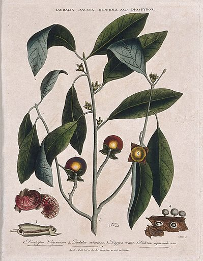 A fruiting branch of common persimmon tree (Diospyros virginiana) with two fungi. Coloured etching by J Pass, c 1808, after J Ihle. Contributors: Johann-Eberhard Ihle. Work ID: hhhvpm4r.
