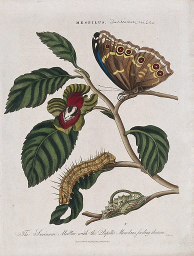 A flowering branch of medlar (Mespilus germanica) with butterfly, chrysalis and caterpillar of a Papilio species. Coloured engraving by J Pass, c 1816. Work ID: gxkzzxub.
