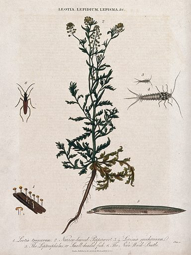 A flowering pepperwort plant (Lepidium species) with a cup fungus, two silverfish, a fish larva and wood-beetle. Coloured etching by J Pass, c 1813. Created 14 March 1813. Botany – England – History (- 19th century). Plants. Cruciferae. Lepidium. Fungi. Lepisma. Lepismatidae. Silverfish (Insect). Fishes – Larvae. Leptocephalous larvae. Insects. Beetles. Contributors: John Pass (active 1797–1815); G Jones. Work ID: pq44a5we.