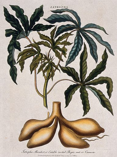 Cassava or tapioca plant (Manihot esculenta): leafy stem and tuberous roots. Coloured etching by J Pass, c 1809. Work ID: b9es8psk.