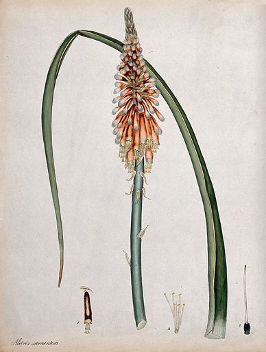 A torch lily (Kniphofia alooides): flowering stem, leaf and floral segments. Coloured engraving, c 1799, after H Andrews. Created 1 April 1799. Botany – England – History (- 18th century). Plants. Liliaceae. Contributors: Henry Charles Andrews (active 1799–1828). Work ID: djmuttbj.
