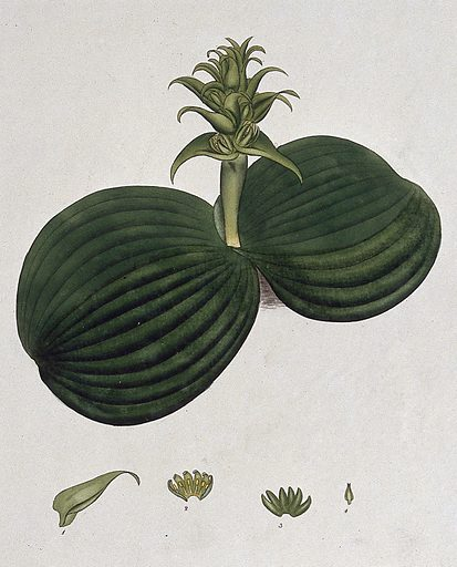 A plant (Whiteheadia latifolia): flowering stem and floral segments. Coloured engraving, c 1804, after H Andrews. Contributors: Henry C Andrews. Work ID: keyt5kms.
