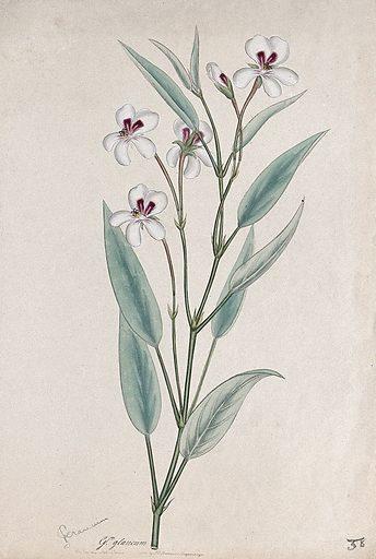 A pelargonium (Pelargonium glaucum): flowering stem. Coloured engraving, c 1806, after H Andrews. Contributors: Henry C Andrews. Work ID: sftmdfkj.