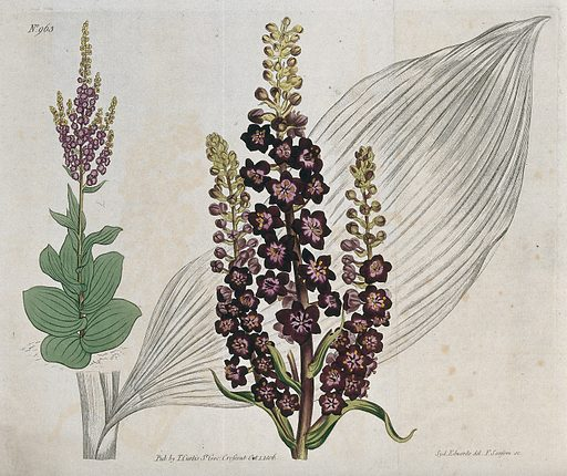 A plant (Veratrum nigrum): flowering stems and leaf. Coloured engraving by F Sansom, c 1806, after S Edwards. Created 1 October 1806. Botany – England – History (- 19th century). Liliaceae. False hellebores. Cultivated. Plants. Ornamental. Plants. Contributors: Sydenham Edwards (1768–1819); Francis Sansom (active 1784–1799); William Curtis (1746–1799). Work ID: jp5myg5p.