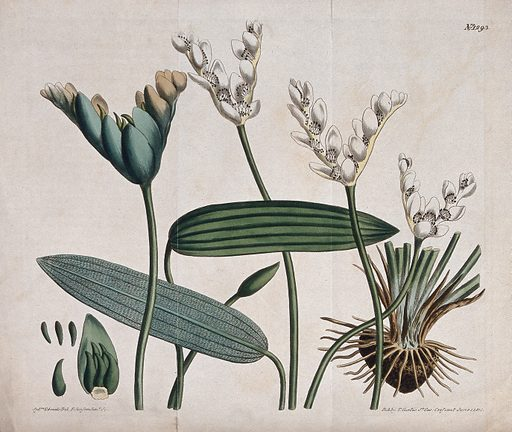 Cape pondweed or water hawthorn (Aponogeton distachyus): flowering and fruiting stems. Coloured engraving by F Sansom, c 1810, after S Edwards. Created 1 June 1810. Botany – England – History (- 19th century). Cultivated. Plants. Ornamental. Plants. Aponogetonaceae. Aponogeton. Aquatic plants. Edible. Plants. Contributors: Sydenham Edwards (1768–1819); Francis Sansom (active 1784–1799); William Curtis (1746–1799). Work ID: b3dew7yr.