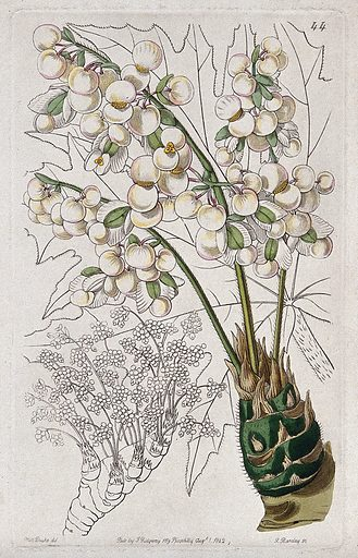 A begonia plant (Begonia crassicaulis): flowering stems and leaf. Coloured engraving by G Barclay, c 1842, after S Drake. Contributors: S A Drake. Work ID: f2xyen9s.