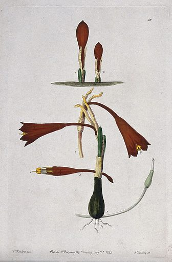 A plant (Stenomesson humile): flowering stems. Coloured engraving by G Barclay, c 1842, after W Herbert. Contributors: William Herbert. Work ID: vqt6zm8t.