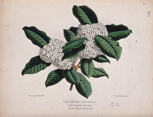 A tropical plant (Acokanthera spectabilis): flowering stem. Coloured lithograph by W G Smith, c 1872, after himself. Plants from the Acokanthera genus yield arrow poisons and cardiac glycosides. Created 1872. Botany – England – History (- 19th century). Useful. Plants. Tropical plants. Poisonous plants. Apocynaceae. Contributors: Worthington George Smith (1835–1917); Vincent Brooks, Day & Son. Work ID: cxyrnb8n.