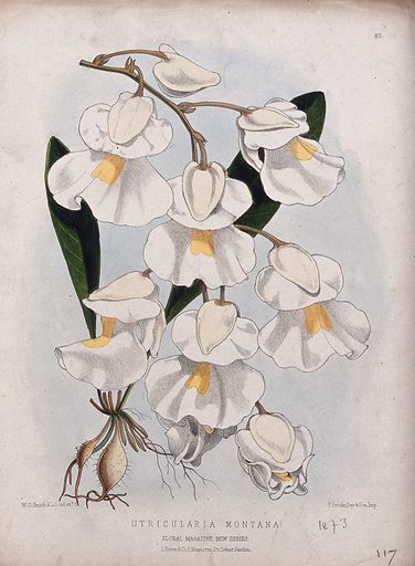 A plant (Utricularia montana): flowering stem. Coloured lithograph by W G Smith, c 1873, after himself. Created 1873. Botany – England – History (- 19th century). Flowers. Cultivated. Plants. Lentibulariaceae. Bladderworts. Contributors: Worthington George Smith (1835–1917); Vincent Brooks, Day & Son. Work ID: b789caea.