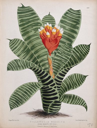 A plant (Tillandsia musaica): flowering stem. Coloured lithograph by J N Fitch, c 1880, after himself. Created 1880. Botany – England – History (- 19th century). Epiphytes. Ornamental. Plants. Bromeliaceae. Tillandsia. Contributors: John Nugent Fitch (1840–1927); Vincent Brooks, Day & Son. Work ID: bhvjf57m.