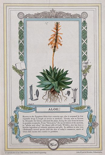 Barbados aloe plant (Aloe vera): flowering plant and floral segments. Colour halftone after J Lambert, c 1842, after P Turpin. Leaves of the Barbados aloe plant are used in shampooing and in many cosmetics. Created 1842. Useful. Plants. Medicinal plants. Aloe. Aloe vera. Botany – France – History (- 19th century). Decoration and ornament. Contributors: P J F Turpin (1775–1840); James Lambert (1742–1799); François-Pierre Chaumeton (1775–1819). Work ID: cjs768xf.
