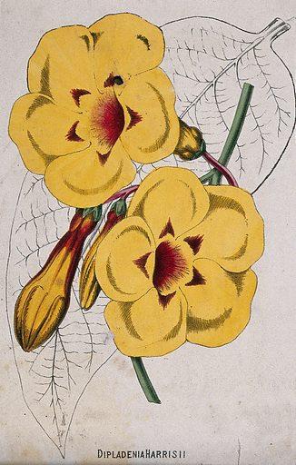 A plant (Odontadenia speciosa): flowers and leaf. Chromolithograph, c 1870, after H Briscoe. Contributors: H Briscoe. Work ID: bau2c463.