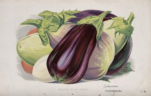 Aubergine or egg plant (Solanum melongena): fruits of different varieties. Chromolithograph, c 1870, after H Briscoe. Created 1870. Botany – England – History (- 19th century). Cultivated. Plants. Vegetables. Solanaceae. Solanum. Edible. Plants. Eggplant. Contributors: H Briscoe; Shirley Hibberd (1825–1890). Work ID: aqdcr9mg.