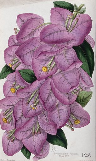 A bougainvillea plant (Bougainvillea speciosa): flowering stem. Coloured zincograph by J Andrews, c 1861, after himself. Created 1861–71. Cultivated. Plants. Ornamental. Plants. Nyctaginaceae. Bougainvillea. Botany – England – History (- 19th century). Contributors: James Andrews (active 1830–1861). Work ID: s8zr3afq.