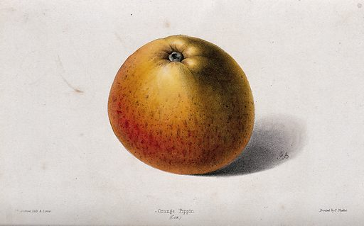"""A """"Cox's"""" Orange Pippin apple (Malus sylvestris cv.). Coloured zincograph by J Andrews, c 1861, after himself. Created 1861–71. Cultivated. Plants. Botany – England – History (- 19th century). Fruit. Rosaceae. Apples. Edible. Plants. Contributors: James Andrews (active 1830–1861). Work ID: n443rndc."""