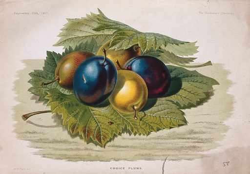 Five plums (Prunus domestica) in a bed of leaves. Chromolithograph, c 1877, after W H Fitch. Created 15 September 1877. Botany – England – History (- 19th century). Edible. Plants. Fruit. Stone fruit. Rosaceae. Prunus. Plum. Cultivated. Plants. Contributors: W H Fitch (1817–1892). Work ID: x2n6etw4.