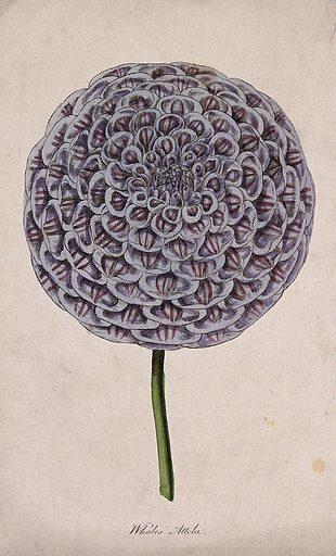 A garden dahlia (Dahlia variabilis): one large flower. Coloured engraving, c 1842. Work ID: uv5934za.