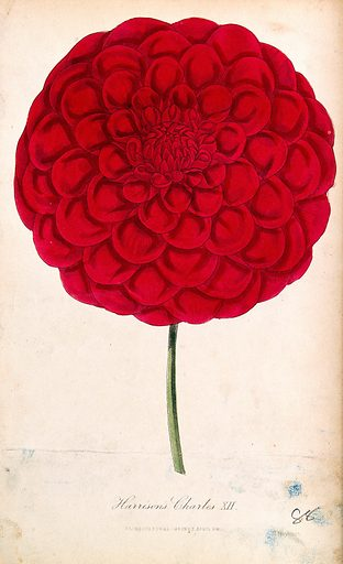 A garden dahlia (Dahlia 'Charles XII'): one large flower. Coloured aquatint by D Hayes, c 1840. Created 1833–59. Botany – England (- 19th century). Cultivated. Plants. Ornamental. Plants. Flowers. Compositae. Dahlias. Contributors: D Hayes (active 1840). Work ID: axgvvr4k.