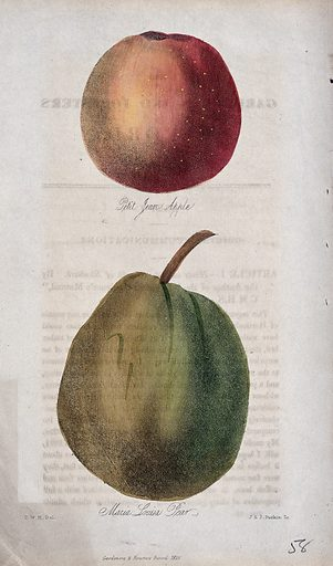 An apple (Malus pumila cv.) and pear (Pyrus communis cv.). Coloured etching with aquatint by J & J Parkin, c 1836, after C Harrison. Created 1833–36. Botany – England – History (- 19th century). Horticulture. Fruit. Apples. Rosaceae. Edible. Plants. Cultivated. Plants. Pears. Apples – Varieties. Pears – Varieties. Contributors: C W Harrison; J & J Parkin. Work ID: trp8tbbj.