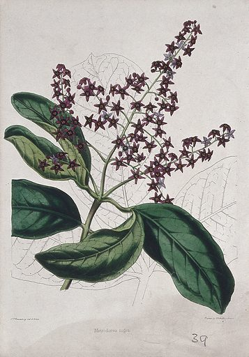 A plant (Metrodorea nigra): flowering stem and leaves. Coloured zincograph by C Rosenberg, c 1850, after himself. Contributors: C T Rosenberg. Work ID: aygbn7qp.