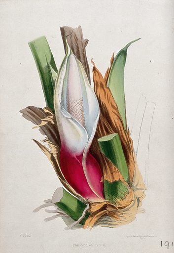 A tropical aroid (Philodendron simsii): spadix, spathe and leaf bases. Coloured lithograph, c 1850, after C Rosenberg. Created 1850–51. Botany – England – History (- 19th century). Horticulture. Cultivated. Plants. Ornamental. Plants. Poisonous plants. Araceae. Philodendrons. Contributors: C T Rosenberg (active approximately 1850); Thomas Moore (1821–1887). Work ID: mfdgvcry.