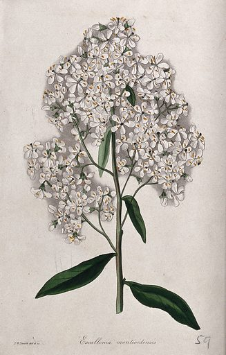 A plant (Escallonia montevidensis): flowering stem. Coloured etching by F Smith, c 1834, after himself. Created 1834–49. Botany – England – History (- 19th century). Cultivated. Plants. Horticulture. Contributors: Frederick William Smith (1797–1835). Work ID: hg6uuy8f.