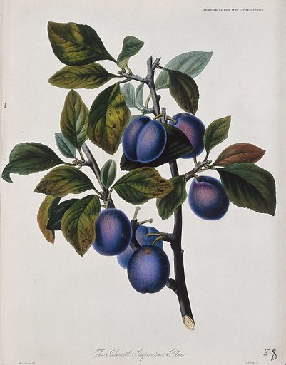 The Ickworth Imperatrice plum (Prunus domestica cv.): fruiting branch. Coloured etching by G Barclay, c 1842, after S Drake. Created 1812–48. Botany – England – History (- 19th century). Cultivated. Plants. Fruit. Edible. Plants. Rosaceae. Prunus. Plum. Stone fruit. Contributors: S A Drake (active 1830–1840); George. Barclay. Work ID: gvj6p8gk.