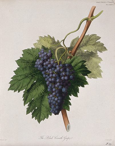 The Black Corinth grape (Vitis vinifera cv.): fruiting branch. Coloured etching by W Clark, c 1835, after W Hooker. Contributors: William Hooker. Work ID: dejt4dq8.