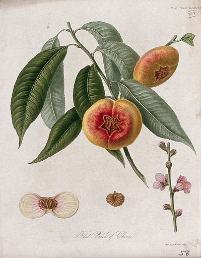 The flat peach of China (Prunus persica cv.): fruiting branch, flowers and cut fruit. Coloured etching by W Hooker, c 1820. Work ID: wqupk9am.