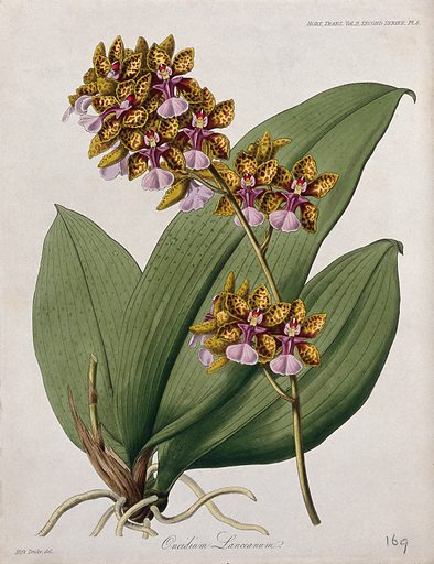 A tropical orchid (Oncidium lanceanum): flowering stem and leaves. Coloured etching, c 1842, after Miss S A Drake. Created 1812–48. Botany – England (- 19th century). Cultivated. Plants. Ornamental. Plants. Flowers. Orchids. Oncidium. Tropical plants. Contributors: S A Drake (active 1830–1840). Work ID: pek45me8.