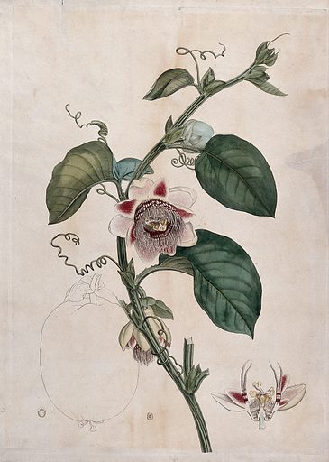 Large fruited granadilla (Passiflora macrocarpa): flowering stem, flower and outline of fruit. Coloured etching. Passifloraceae. Passiflora. Cultivated. Plants. Edible. Plants. Passion fruit. Tropical fruit. Tendrils. Flowers. Tropical plants. Climbing plants. Flowers – Anatomy. Work ID: sh5bk7f4.