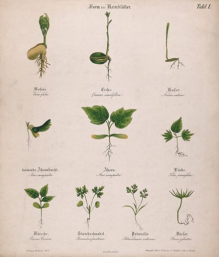 Ten seedlings with different types of cotyledon or seed leaves. Chromolithograph, c 1850. Created c 1850. Botany – Germany – History (- 19th century). Plant morphology. Plants – Variation. Leaves – Morphology. Seedlings. Seeds. Plants. Work ID: caxznv3k.