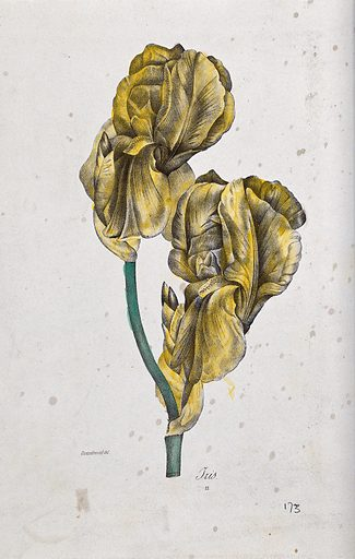 A flowering iris. Coloured lithograph, c 1850, after Guenébeaud. Created 1850. Botany – France – History (- 19th century). Cultivated. Plants. Ornamental. Plants. Irises (Plants). Iridaceae. Contributors: Guenébeaud. Work ID: a6d4aqgy.