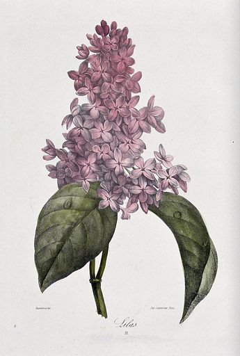 Lilac plant (Syringa species): flowering stem. Coloured lithograph, c 1850, after Guenébeaud. Created 1850. Botany – France – History (- 19th century). Cultivated. Plants. Ornamental. Plants. Oleaceae. Lilacs. Contributors: Guenébeaud. Work ID: zrg4ns66.