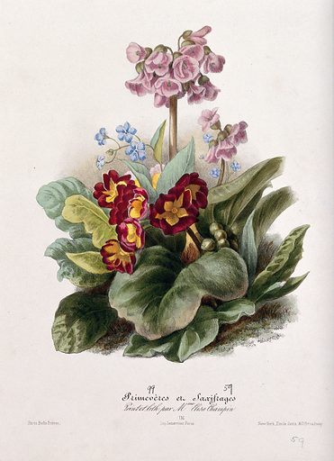 Two flowering plants: primroses (Primula species) and saxifrages (Saxifraga species). Coloured lithographs by E Champin, c 1850, after herself. Created 1850. Cultivated. Plants. Ornamental. Plants. Botany – France – History (- 19th century). Primulaceae. Primroses. Saxifraga. Saxifragaceae. Contributors: Elisa-Honorine Champin (-1871). Work ID: bmwnrmvd.
