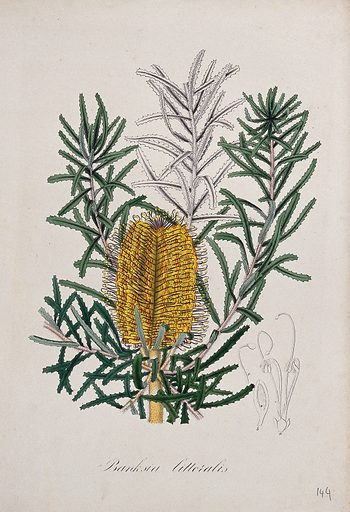 An Australian honeysuckle plant (Banksia littoralis): flowering stem and floral segments. Coloured lithograph. Botany. Plants. Proteaceae. Banksia. Work ID: qxhqzpwp.