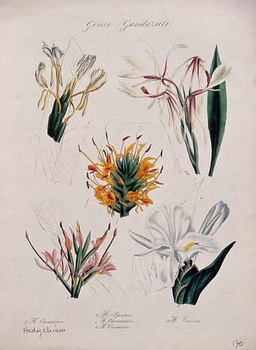 Five types of ginger lily (Hedychium species): flowering stems. Coloured lithograph. Botany. Plants. Zingiberaceae. Cultivated. Plants. Ornamental. Plants. Work ID: esbgrddr.